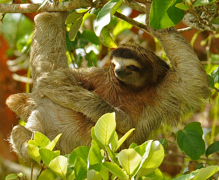 Brown-throated sloth, Gatun Lake, Panama