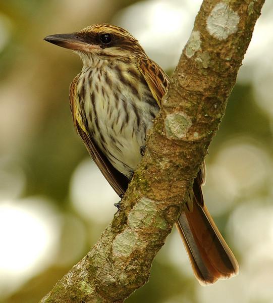 Streaked flycatcher, Gamboa, Panama