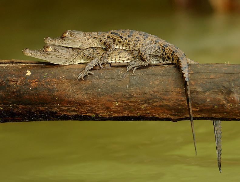 American crocodiles, Gatun Lake, Panama