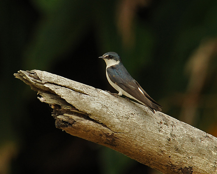 Mangrove swallow, Gatun Lake, Panama