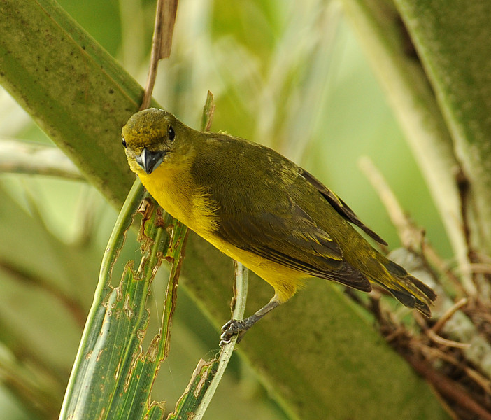 Yellow-crowned euphonia, Gamboa, Panama