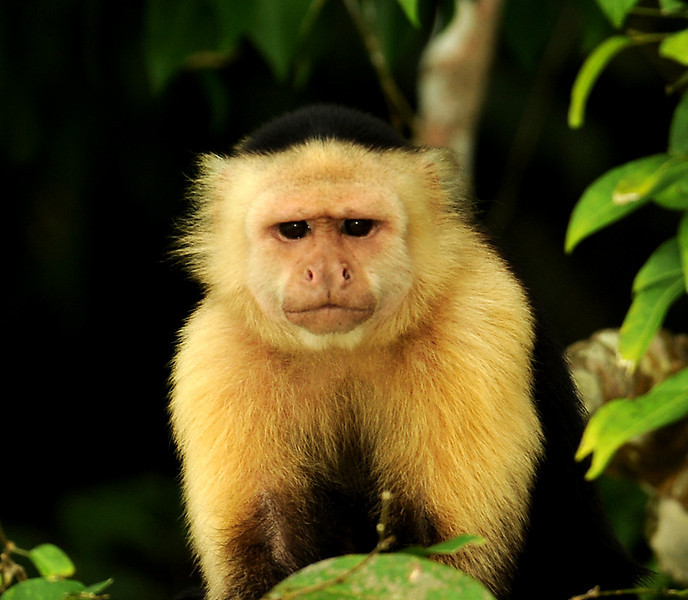 White-faced capuchin, Gatun Lake, Panama