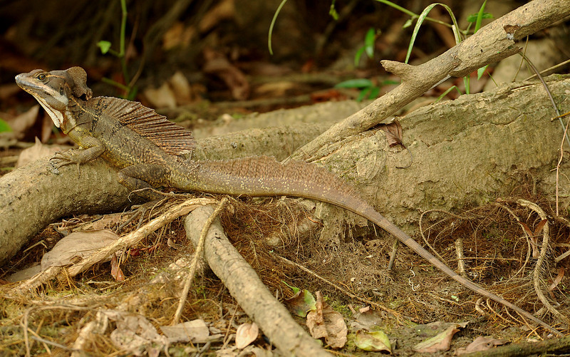 Common basilisk (Jesus Christ) lizard, Gatun Lake, Panama