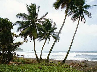 Kookuspalmid   Coconut trees  - Atlantic Ocean