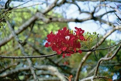 Kuninglik poinciana   Royal poinciana tree
