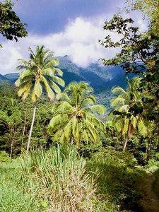 Kookuspalmid   Coconut trees  - Carib territory