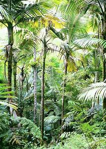 Sierra palmid. El Yunque Rahvuspark   Sierra palms. El Yunque