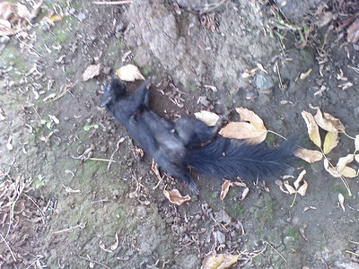 Dead black squirrel