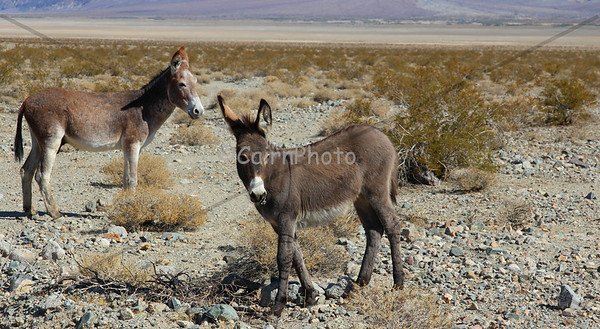 Wild Burro foal in Panamint Valley