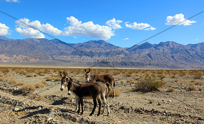 Wild Burros in Panamint Valley
