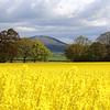 A view of the Wrekin across rape fields taken near Cressage.