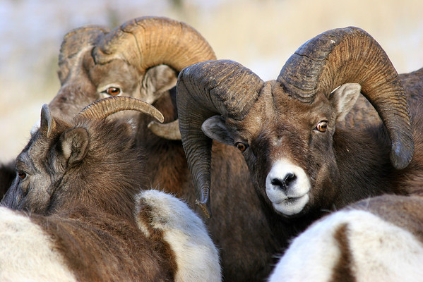 Most tourists travel through the parks of Alberta during the summer months when ewes and lambs are plentiful, but Big Horn Sheep can easily be found throughout the year.