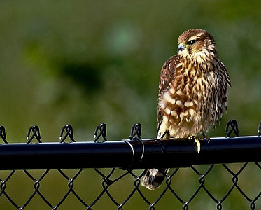 The very first bird we saw from the window of our new home was this little female merlin.