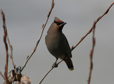 And of course, there's the waxwings. The mountain ash trees along the path by our ponds are heavy with berries and attract the waxwings of winter.