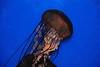 SURPRISES: Live Jellyfish at North Myrtle Beach