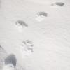 Pine Martin tracks
