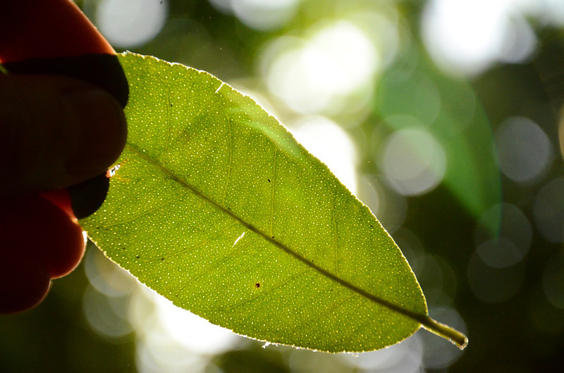 A lemon Leaf when smelled normally has no scent but, if you crush the leaf in your hand it ruptures the small oil pockets inside the leaf ( the little white dots that are only noticable if you hold the leaf up to the sun) and releases the lemon scent