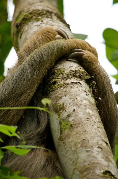 Sleeping 3 toed sloth