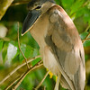 Boat Billed Herron