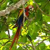 Scarlet Macaw eating tree almonds