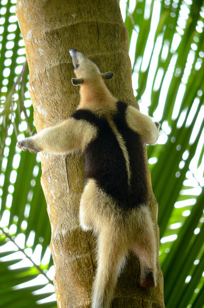 Vested ant eater