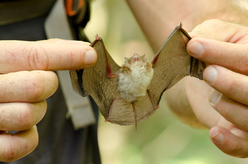 notice the small suction cups at the top of both wings. This bat uses them to stick itself to the inside of a rolled up leaf where it sleeps.