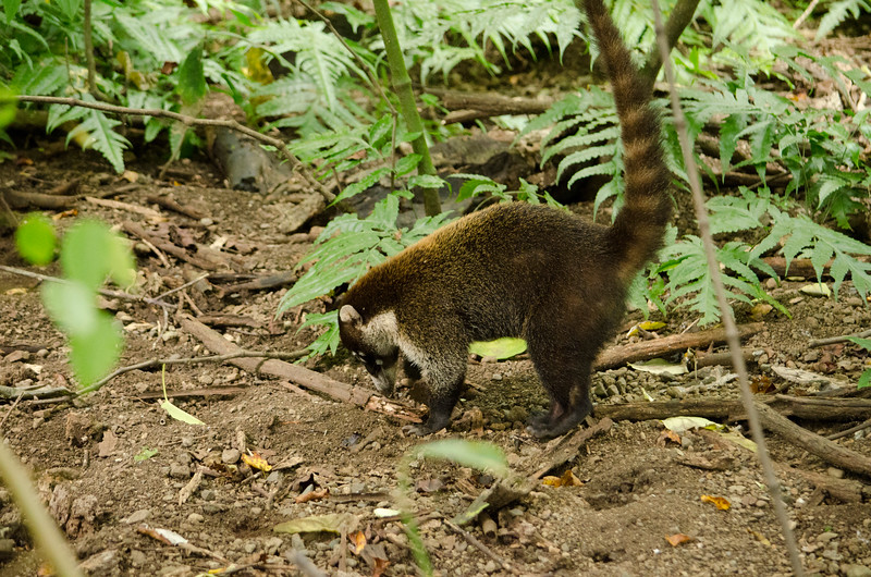 This Coati digs for crabs