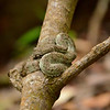 Eye lash Pit viper. The 4th most dangerous snake in Costa Rica