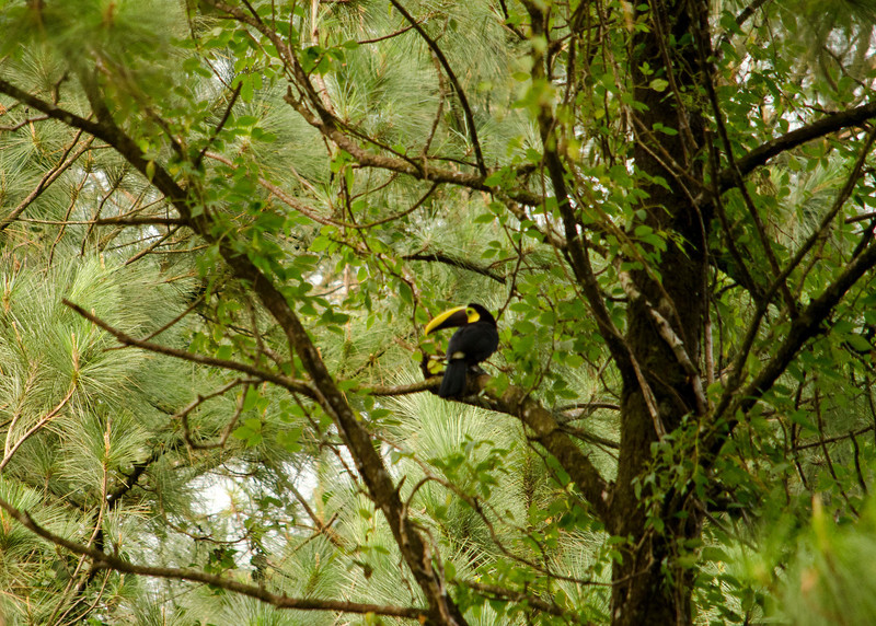 Toucan way too far out of range of my 300mm lens
