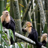 We saw these White faced capuchins on the drive to Luna