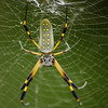 Golden Orb Spider hangin around our bungalow