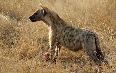 Hyena with kill