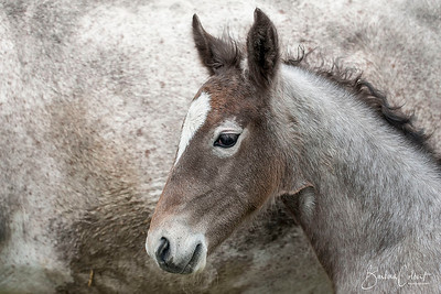 Lipizzan Foal