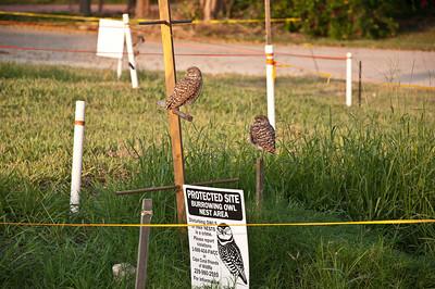 Burrowoing owls