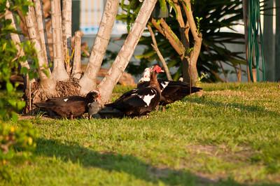 Muscovy ducks in a neighbor's back yard.