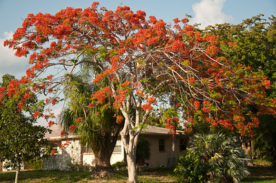 A royal poinciana in the late afternoon sun