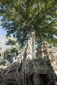 Giant tree on the Ta Prohm Temple