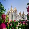 Salt Lake Temple with Tulips
