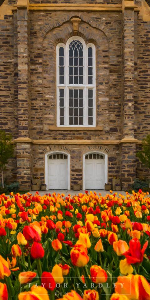 Logan Tulips