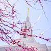 Draper Temple Pink Trees