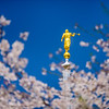 Tokyo Temple - Blossoms and Moroni