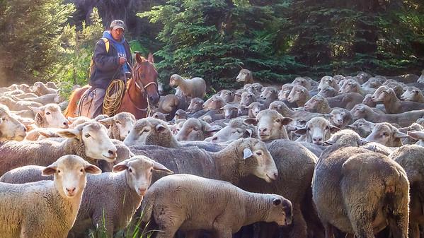 Mountain Shepherd-2