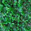Marchantia polymorpha- Liverwort