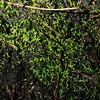 Liverwort species