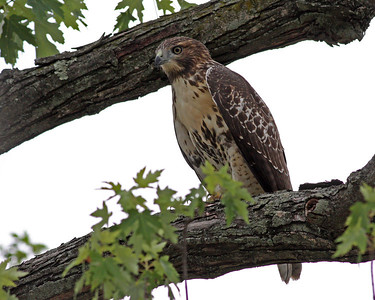Red-tailed Hawk @ Home