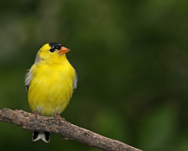 American Goldfinch @ Home - April 2012
