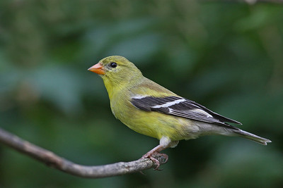American Goldfinch @ Home - June 2012
