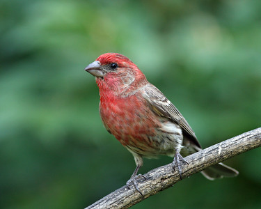 House Finch @ Home - June 2012