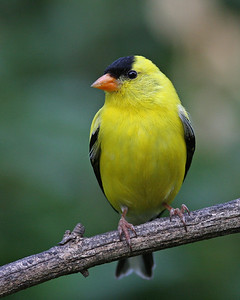 American Goldfinch @ Home - May 2012
