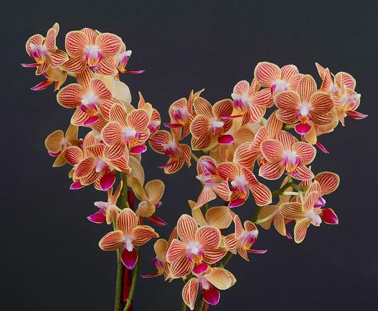 2016-06-18 Orchid - Phalaenopsis